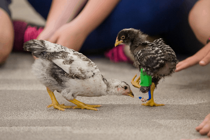 3d printing prosthetic baby chicken